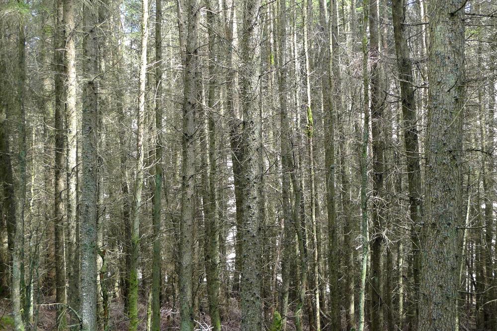 Forest by Loch Dee